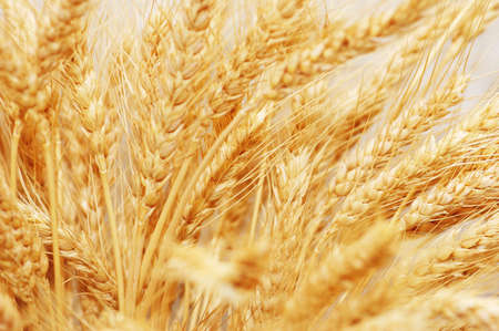 riped: Wheat ears isolated on the white background