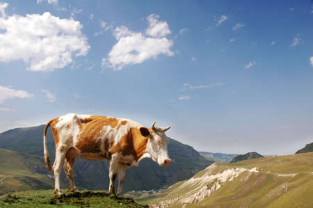 Brown cow in the mountains during summer Stock Photo - 779280