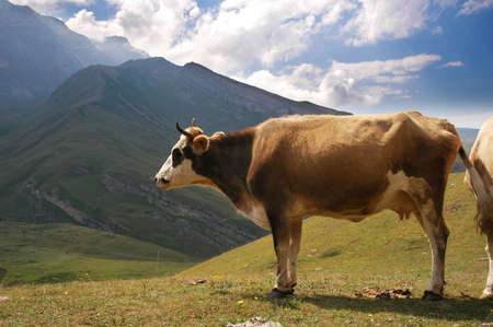 Brown cow in the mountains in summer photo