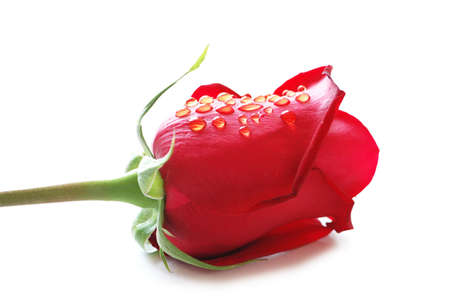Close up of red rose with  water drops photo