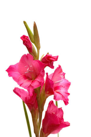 Red gladiolus isolated on the white background photo
