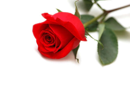 Red rose isolated on the white background photo