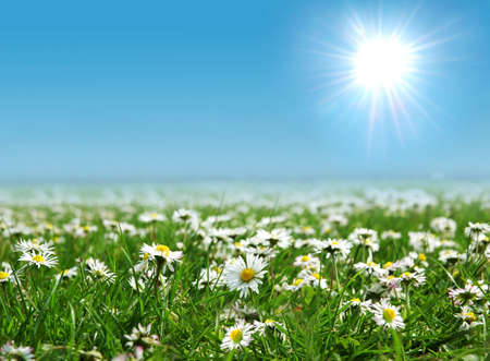 Field with daisies Stock Photo - 2456993