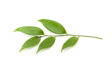 Branch with green leaves isolated on the white Stock Photo - 2677311