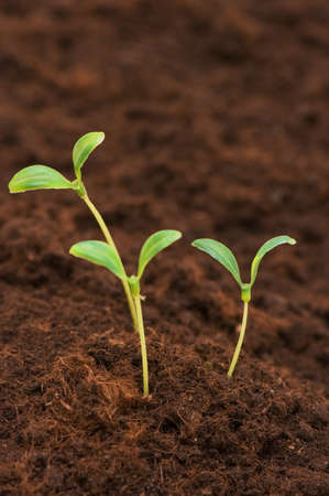 Three green seedlings growing out of soil photo