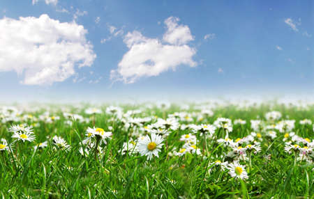 Field of daisies with bright sun on the sky photo