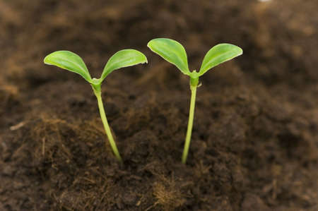 Two green seedlings growing out of soil Stock Photo - 2779617