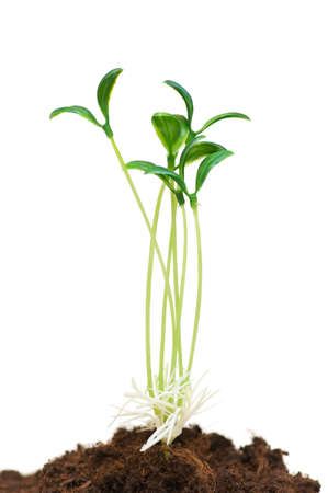 Green seedlings illustrating the concept of new life Stock Photo - 2908816