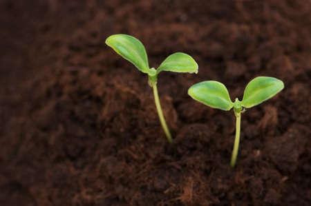 Two green seedlings growing out of soil photo