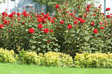 Rose garden on the bright summer day Stock Photo - 3218715