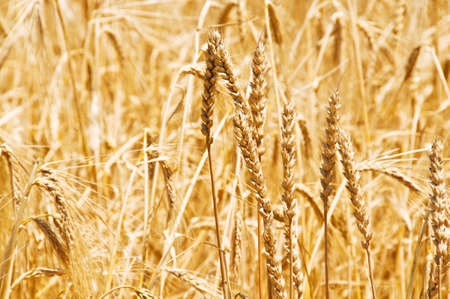 Close up of wheat on bright summer day Stock Photo - 3247612