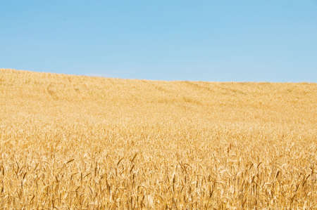 Wheat field on the bright summer day Stock Photo - 3247616