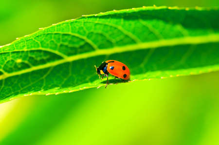 Lady bug sitting on the long green leave photo
