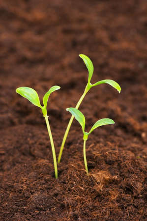 Three green seedlings growing out of soil Stock Photo - 3273868
