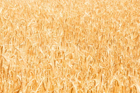 Wheat field on the bright summer day Stock Photo - 3316598