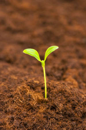 Green seedling growing out of the soil Stock Photo - 3316559