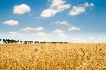 Wheat field on the bright summer day Stock Photo - 3328134
