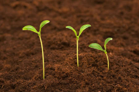 Three green seedlings growing out of soil Stock Photo - 3368932