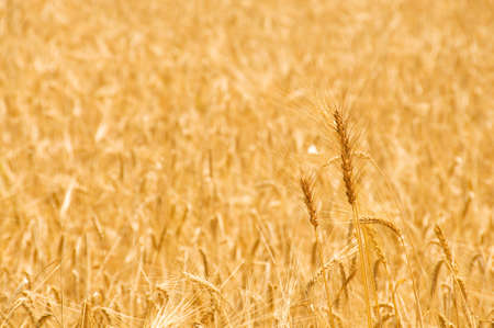 Close up of wheat on bright summer day Stock Photo - 3415116