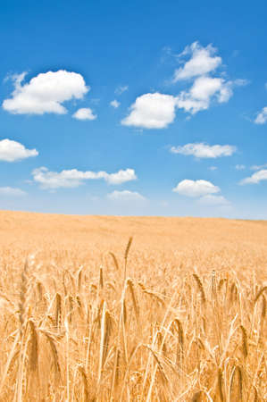 Wheat field on the bright summer day photo