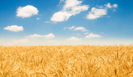 Wheat field on the bright summer day Stock Photo