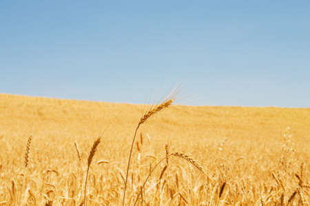 Wheat field on the bright summer day Stock Photo - 4116005