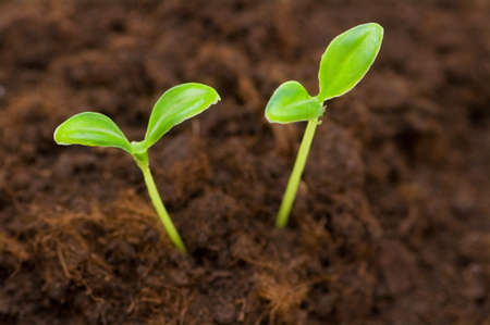 Green seedling growing out of the soil Stock Photo - 4308911