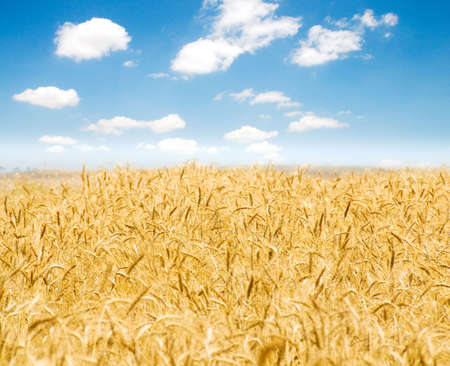 Wheat field on the bright summer day Stock Photo - 4655095