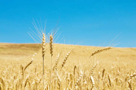 Wheat field on the bright summer day Stock Photo - 4876884