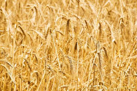 Wheat field on the bright summer day Stock Photo - 5144399