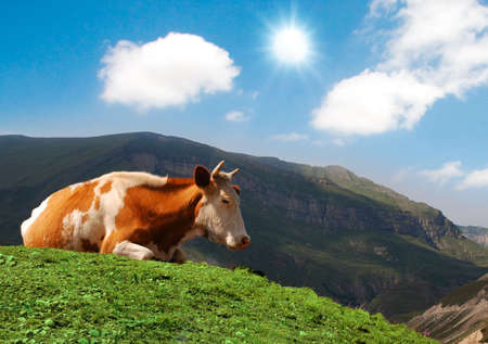 Cow grazing on green grass in summer photo