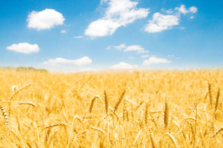hay field: Wheat field on the bright summer day Stock Photo