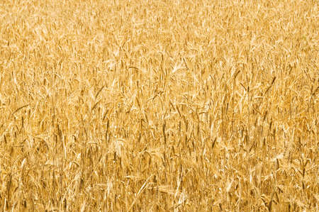 Wheat field on the bright summer day Stock Photo - 5670097