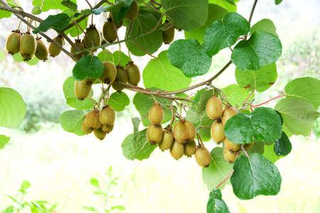 kiwifruit: Big cluster of kiwi fruit on the tree