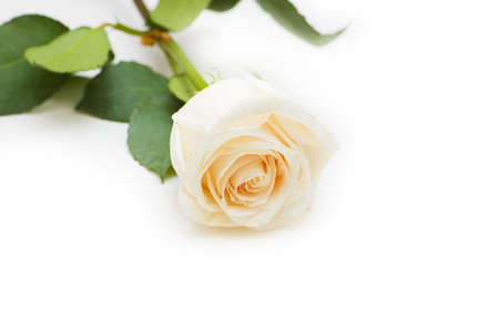 Single rose isolated on the white background Stock Photo - 5778290
