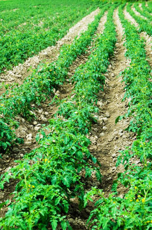 Tomato field on bright summer day Stock Photo - 5963076