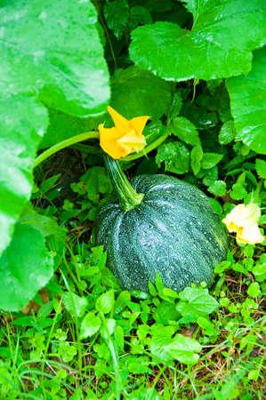 ripen: Ripen pumpkin on the field