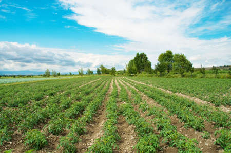 green leafy vegetables: Tomato field on bright summer day