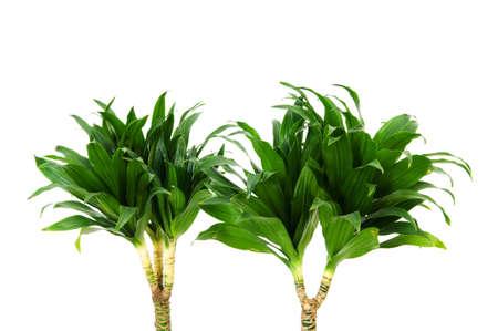 Dracaena plant isolated on the white background photo