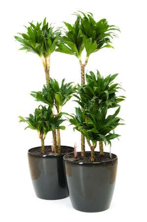 Dracaena plant isolated on the white background Stock Photo - 7045786