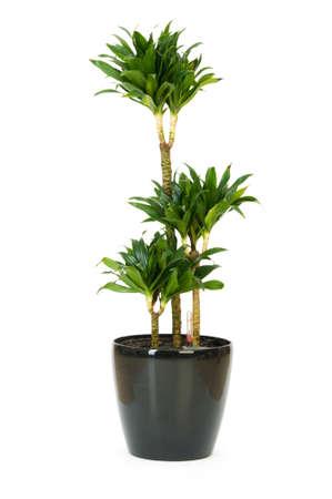Dracaena plant isolated on the white background Stock Photo