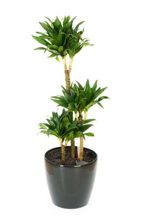 Dracaena plant isolated on the white background Stock Photo - 7189469