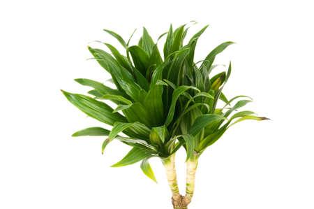 Dracaena plant isolated on the white background Stock Photo - 7440592
