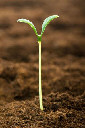 germinados: Pl�ntula verde que ilustran el concepto de vida nueva