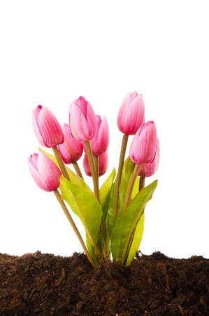 Colourful tulip flowers growing in the soil photo