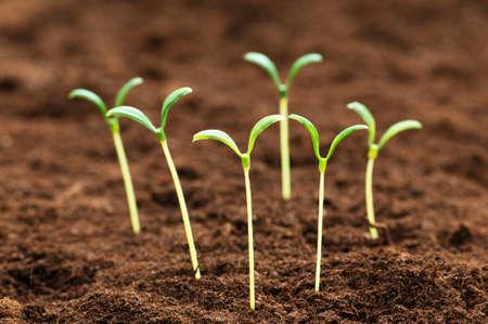 germinados: Pl�ntula verde que ilustran el concepto de nueva vida