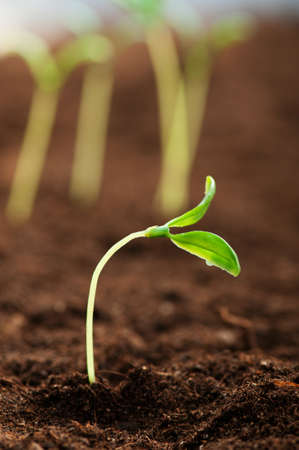 seedling growing: Green seedling illustrating concept of new life