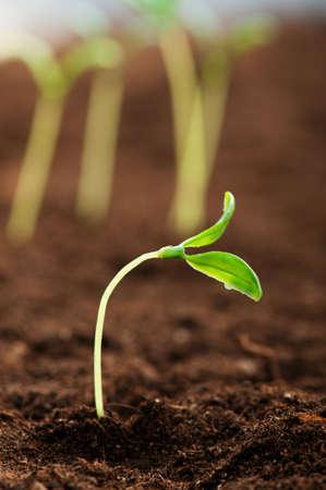 raices de plantas: Pl�ntula verde que ilustran el concepto de nueva vida