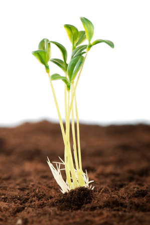 growing plant: Green seedling illustrating concept of new life