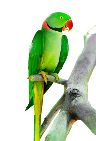 loros verdes: Loro coloridas aves sentado en la percha  Foto de archivo